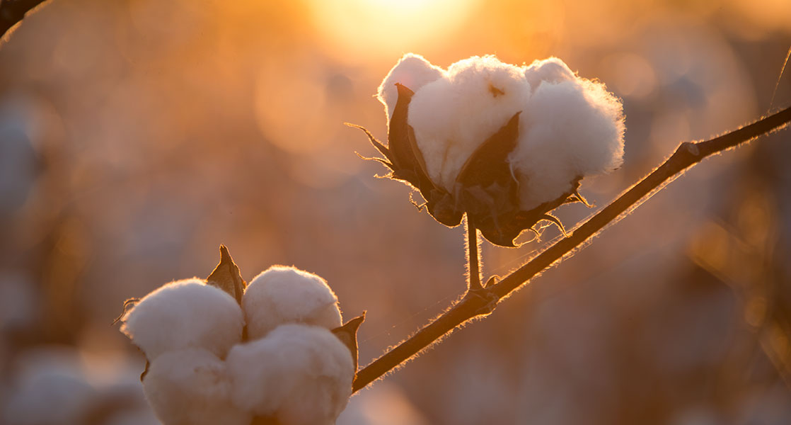 Cotton Insect Losses