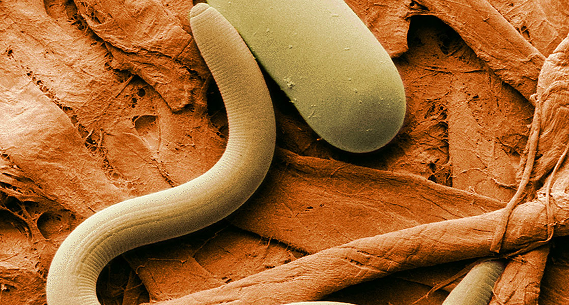 Nematode Identification