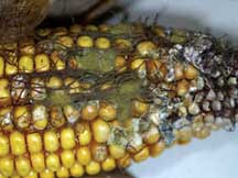 Corn researchers develop in-field aflatoxin approach