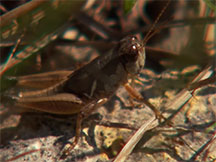 MSU researcher finds new grasshopper species
